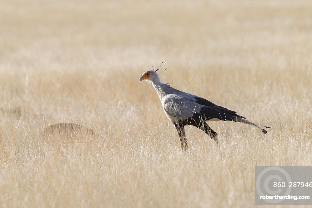 Secretarybird or secretary bird (Sagittarius serpentarius), walking, Private reserve, Upper Karoo, South Africa