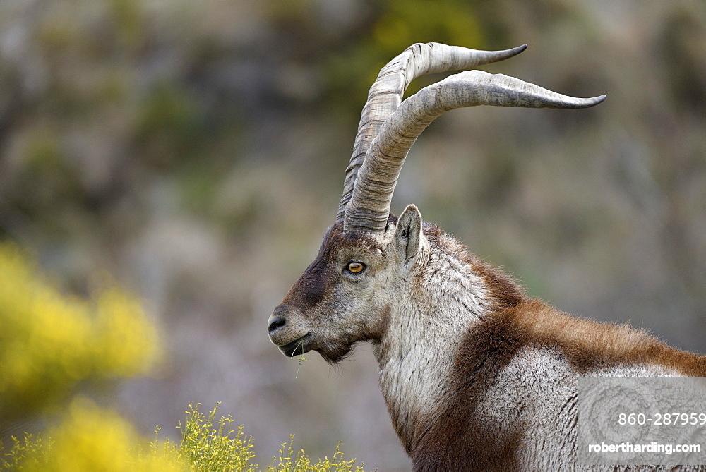 Spanish ibex (Capra pyrenaica victoriae) portrait of a large adult male, Sierra de Gredos, Spain