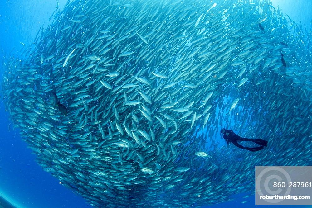Scuba diver surrounded by shoal of Big-eye jacks (Caranx sexfasciatus), Cabo Pulmo Marine National Park, Baja California Sur, Mexico