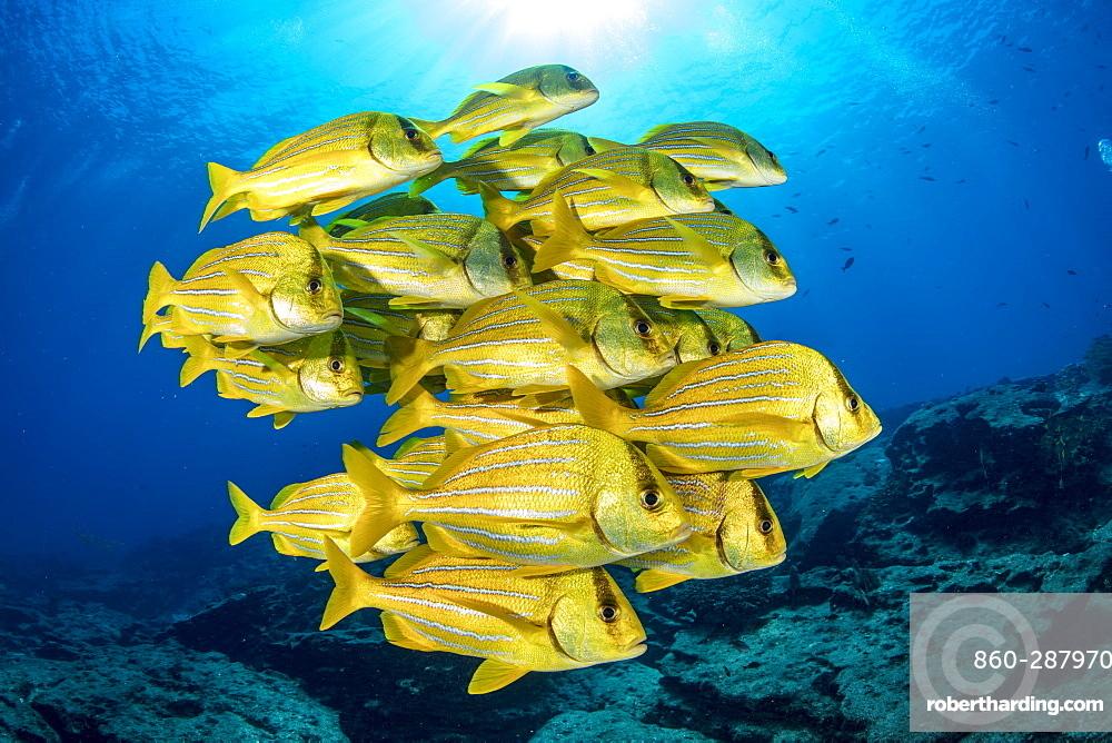 Shoal of colorful yellow fish Panamic porkfish (Anisotremus taeniatus), Cabo Pulmo Marine National Park, Baja California Sur, Mexico
