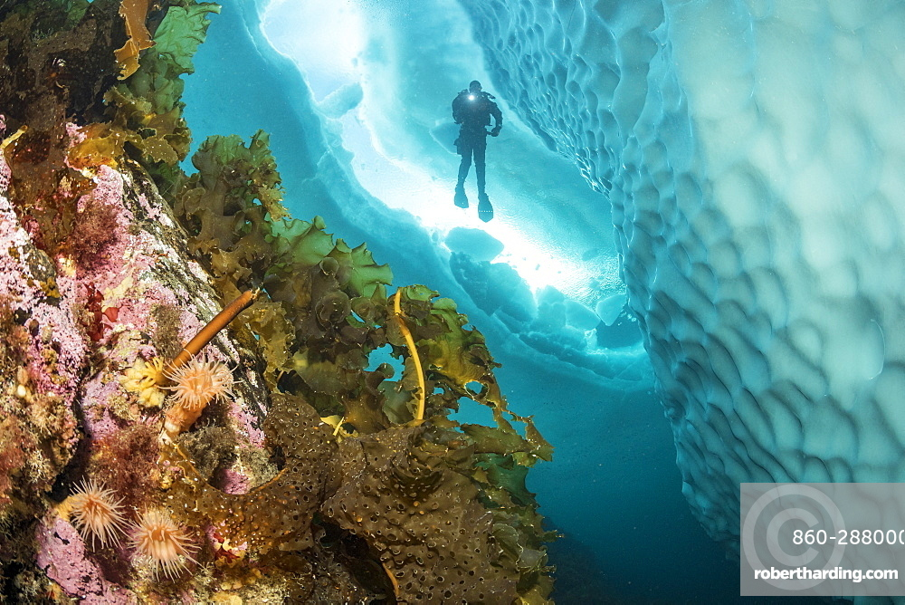 (Saccharina latissima), laminaria, a genus of 31 species of brown algae commonly called kelp covering a wall close to an iceberg with scuba diver silhouette, Tasiilaq, East Greenland
