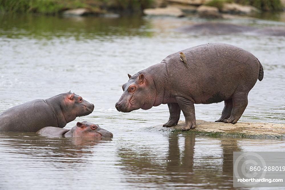 Hippopotamus (Hippopotamus amphibius) three young are watching each other, Kenya , Masaï Mara, National Reserve