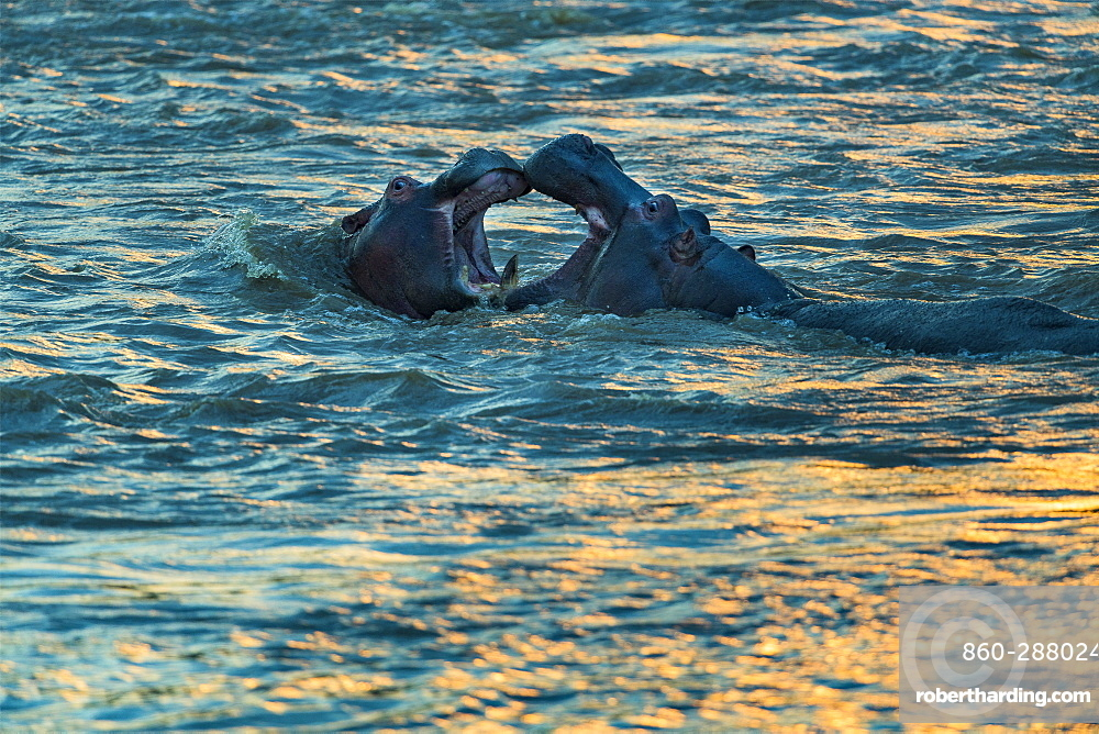 Hippopotamus (Hippopotamus amphibius) are playing to fight at dusk , Kenya , Masaï Mara, National Reserve