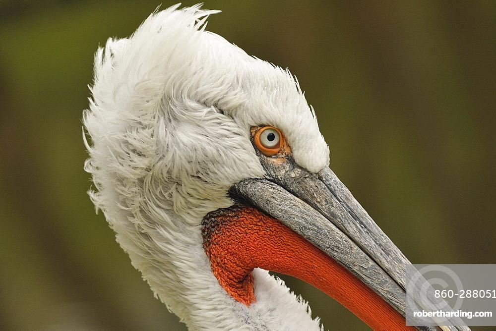 Dalmatian Pelican (Pelecanus crispus) Portrait of an elderly adult in late nuptial plumage