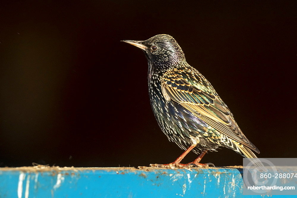 Starling (Sturnus vulagaris) perched on a fence, England