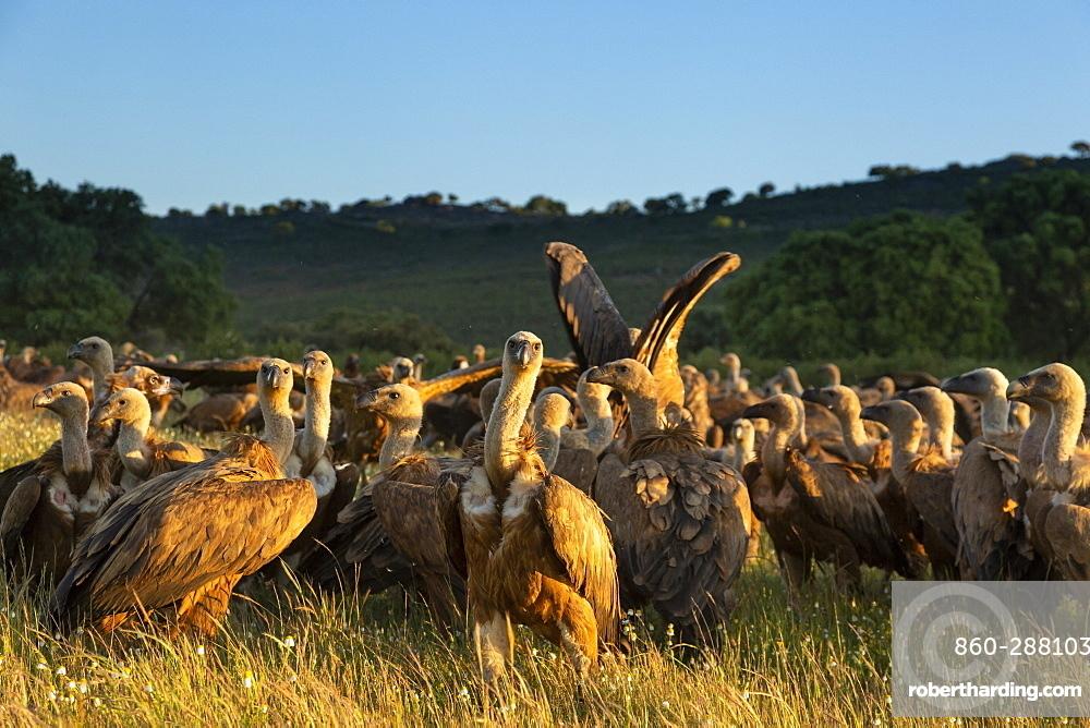 Griffon vulture (Gyps fulvus) looking for food, Spain