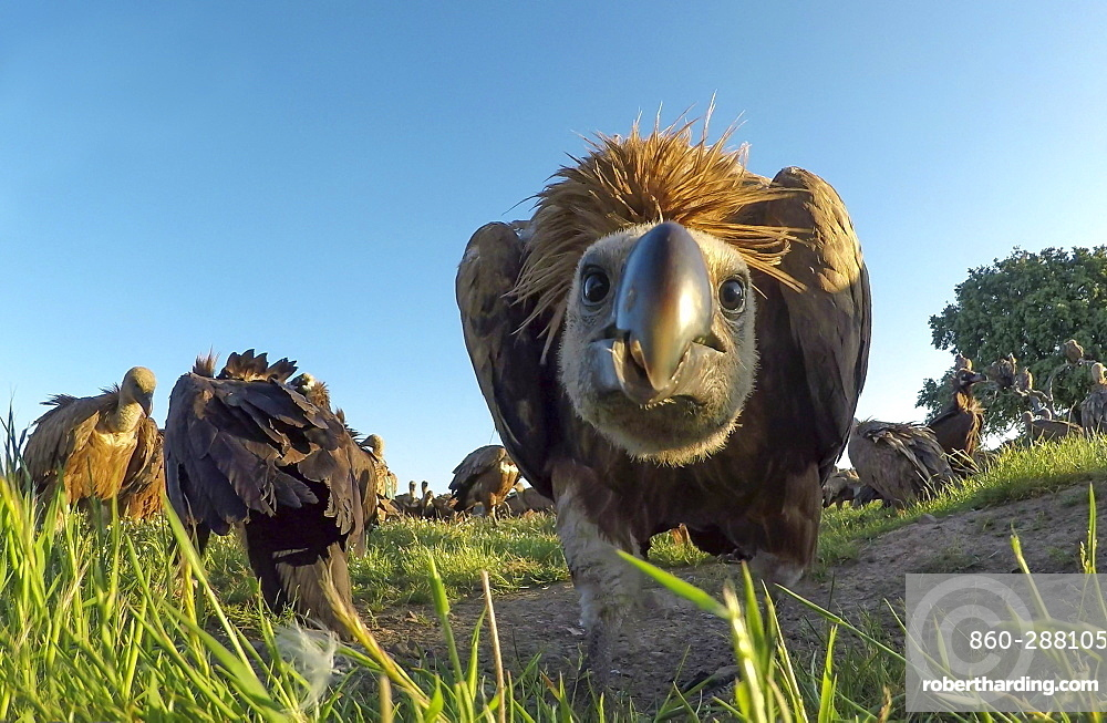 Griffon vulture (Gyps fulvus) looking at the camera, Spain