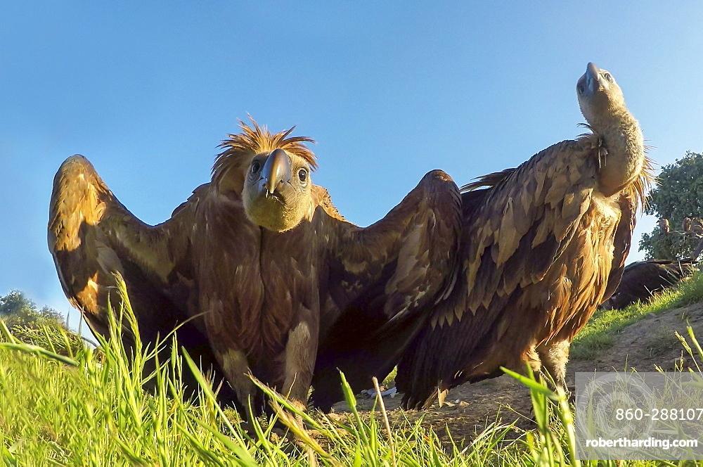 Griffon vulture (Gyps fulvus) displaying, Spain