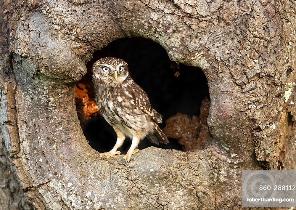 Little owl (Athena noctua) perched inside an hollow oak tree, England