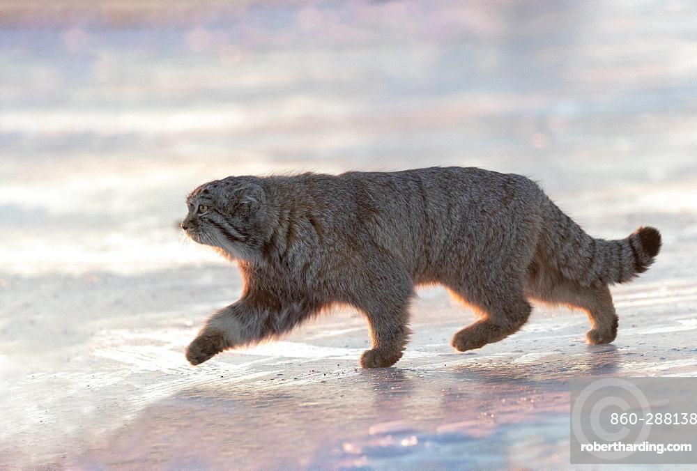 Pallas's cat (Otocolobus manul), moving, walking, Steppe area, East Mongolia, Mongolia