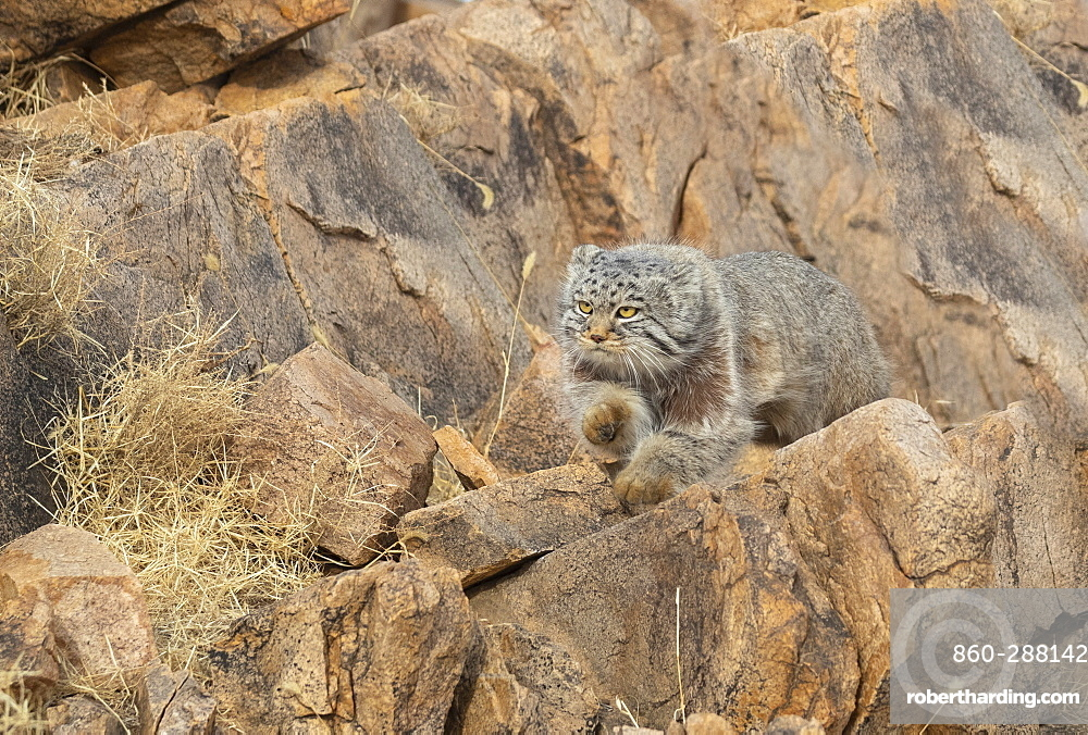 Pallas's cat (Otocolobus manul), moving, running, Steppe area, East Mongolia, Mongolia