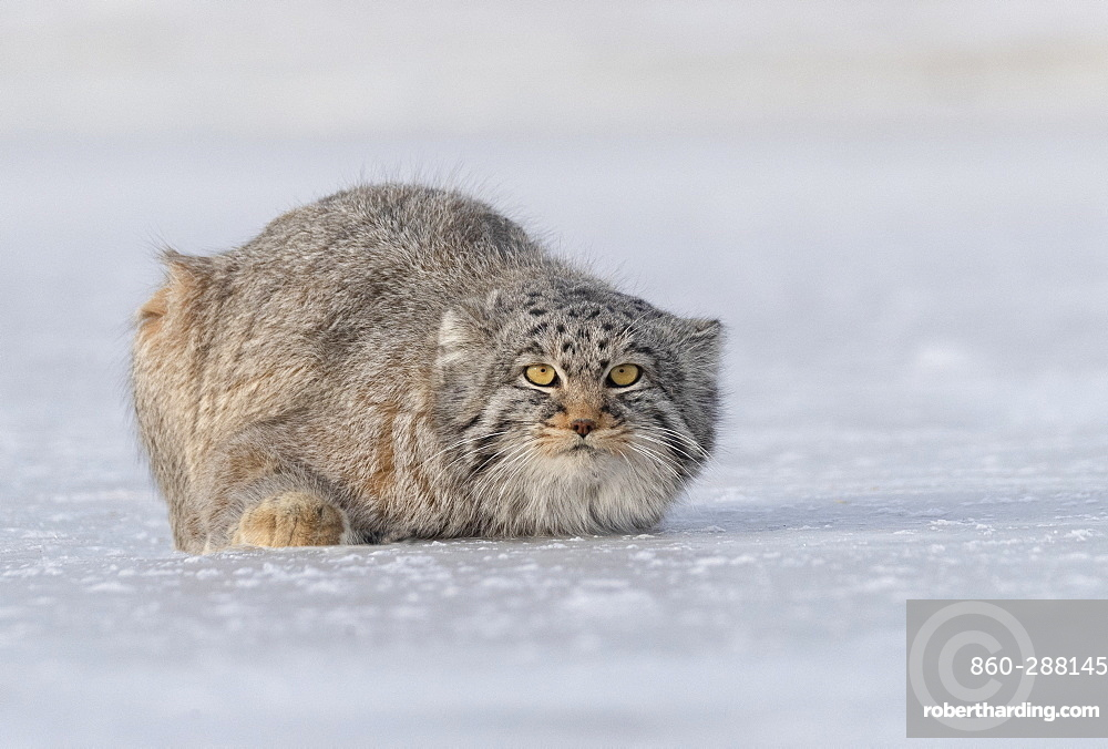 Pallas's cat (Otocolobus manul), resting, lying down, Steppe area, East Mongolia, Mongolia