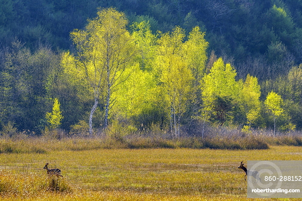 Birches (Betula sp) in spring foliage and Roebuck (Capreolus capreolus) in a peat bog, Swamp of Hell, Savoie, France