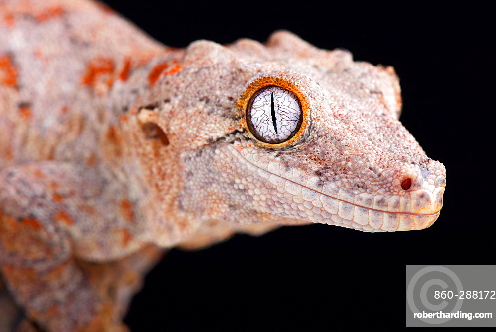 The Gargoyle gecko (Rhacodactylus auriculatus) is a medium sized, endangered, gecko species endemic to New Caledonia.