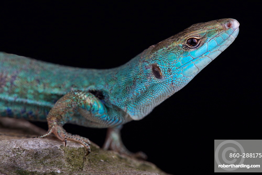 Klemmer's wall lizard (Podarcis sicula klemmeri) endemic to Licosa islet, Campania, Italy