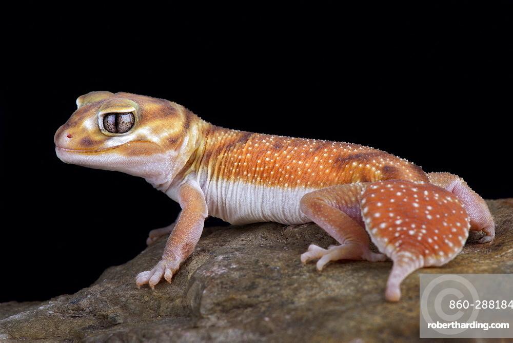 Western Smooth Knob-tailed Gecko (Nephrurus levis occidentalis)