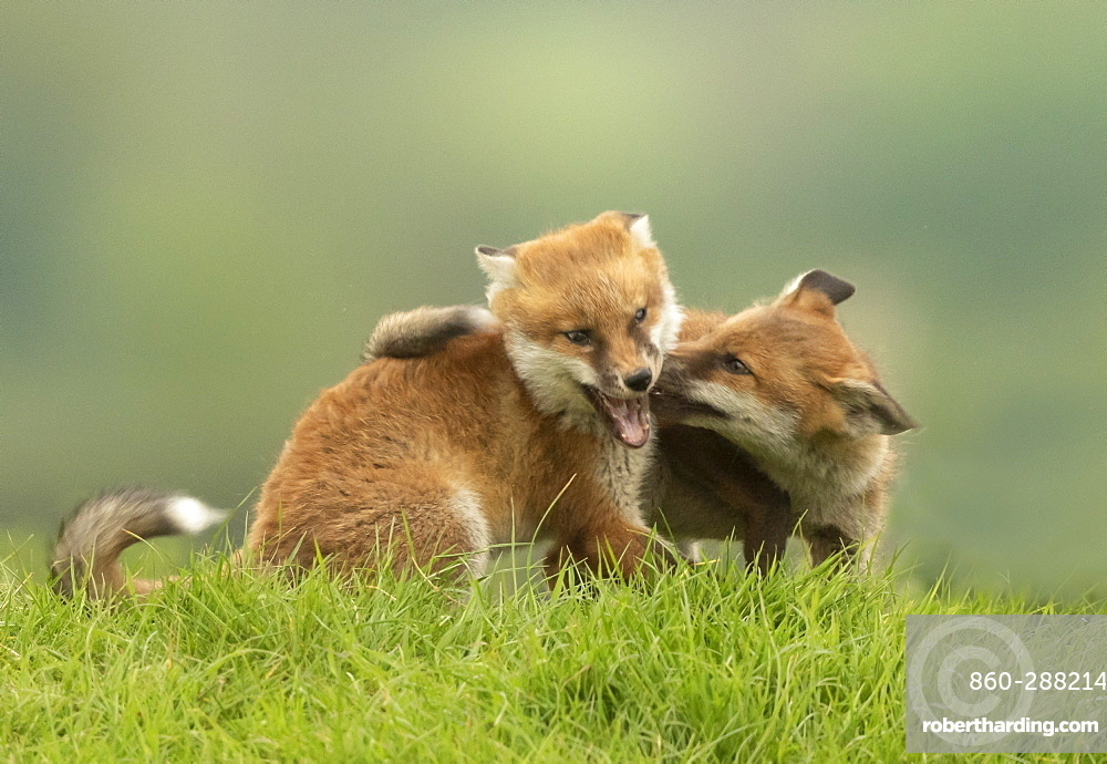 Red fox (Vulpes vulpes) cub fighting, England
