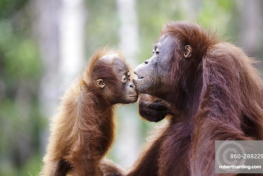 Borneo Orangutan (Pongo pygmaeus pygmaeus) portrait of female and her young, Tanjung Puting National Park, Indonesia