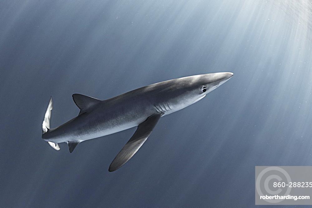 Blue shark (Prionace glauca). North Atlantic Ocean, Canary Islands.