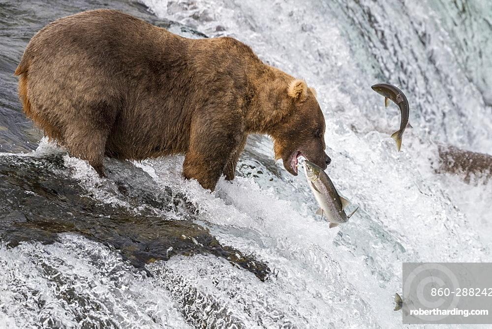 Grizzly bear (Ursus arctos horribilis) catching Salmon, Brooks Falls, Katmai National Park, Alaska, USA