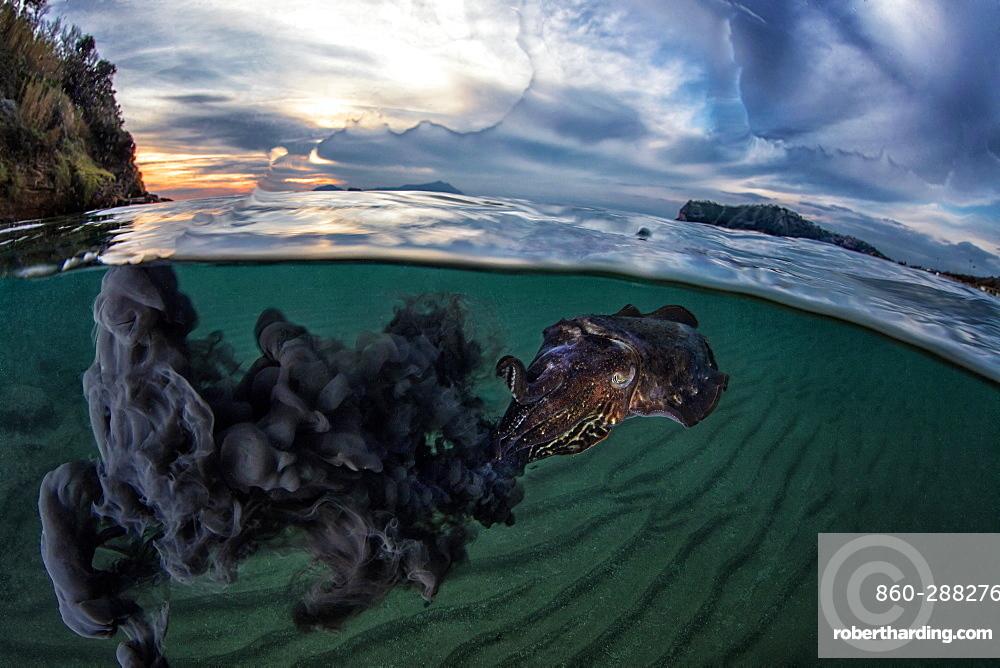 Common Cuttlefish (Sepia officinalis) spitting ink under the surface at dusk, Miseno, Napoli, Italy, Tyrrhenian Sea