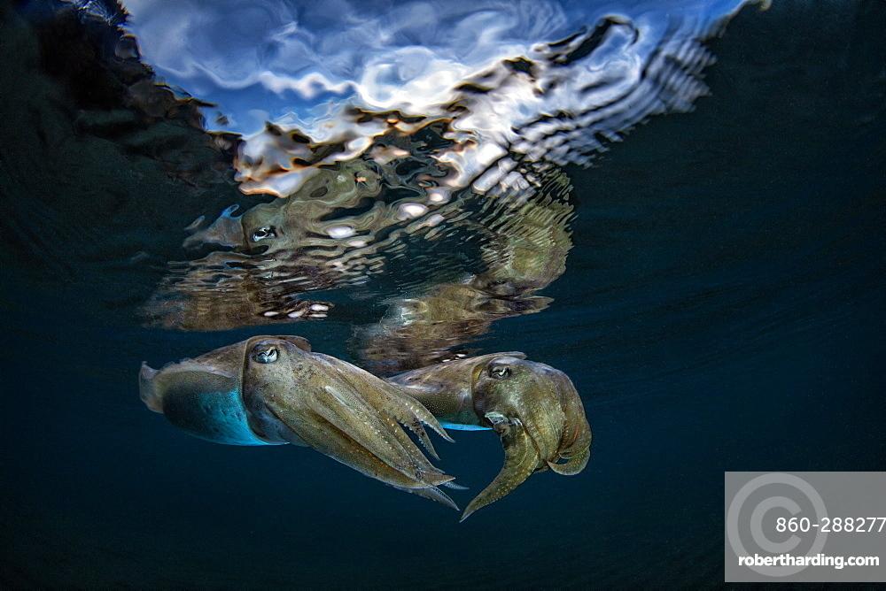 Common Cuttlefish (Sepia officinalis) under the surface at dusk, Miseno, Napoli, Italy, Tyrrhenian Sea