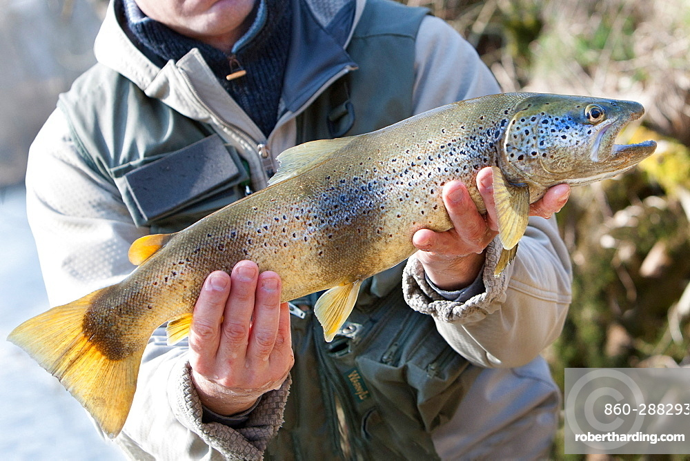 Trout fishing on the Loue river, Presentation of a wild trout (Salmo trutta fario), Franche-Comté, France