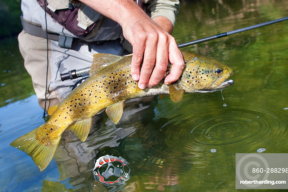 Fly fishing on the Loue river, Presentation of a wild trout (Salmo trutta fario), Franche-Comté, France