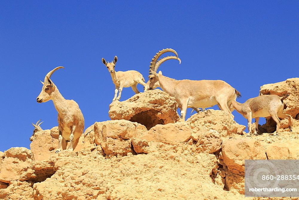 Nubian ibex (Capra nubiana) in the Negev desert, Israel