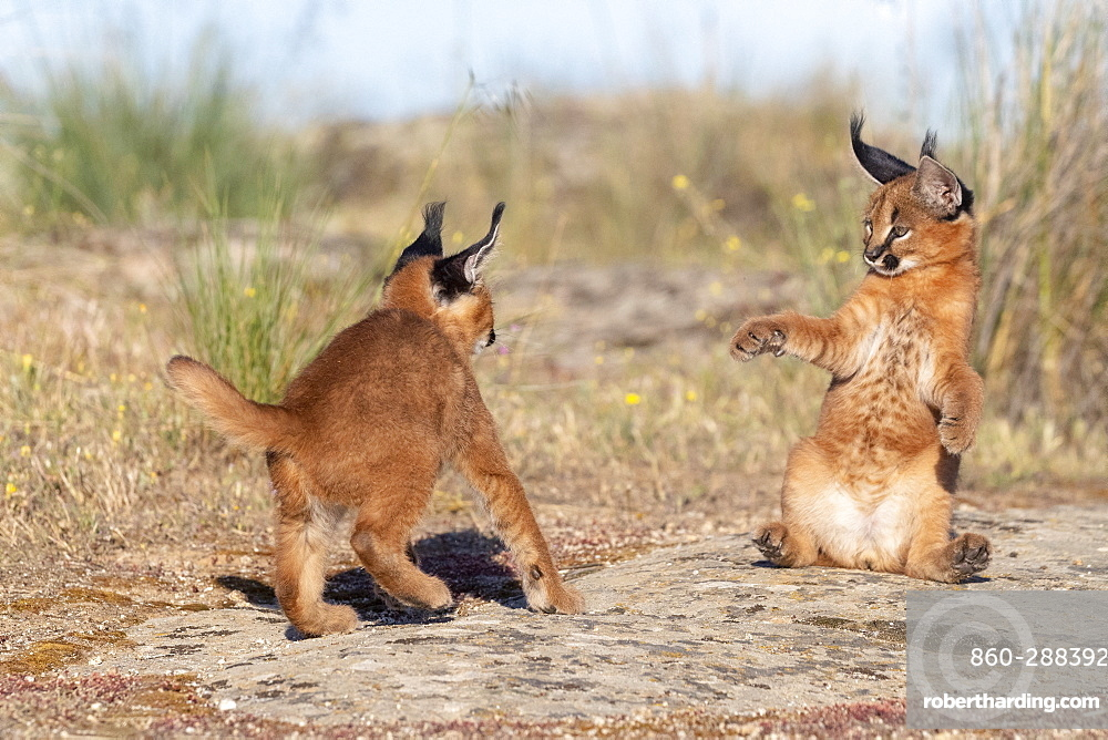 Caracal (Caracal caracal) , Occurs in Africa and Asia, Young animal 9 weeks old, in the grass, Captive.