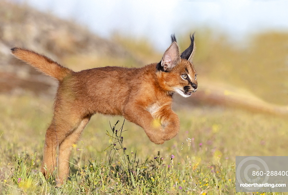 Caracal (Caracal caracal) , Occurs in Africa and Asia, Young animal 9 weeks old, jumping in the grass, Captive.