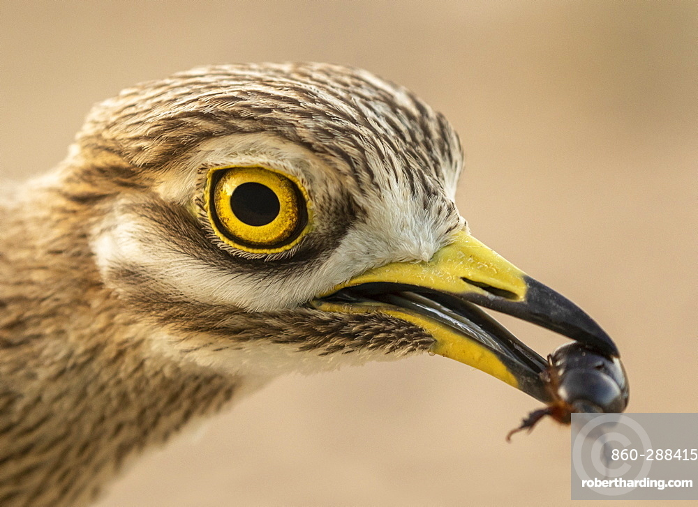 Stone curlew (Burhinus oedicnemus) eating an insect, Spain