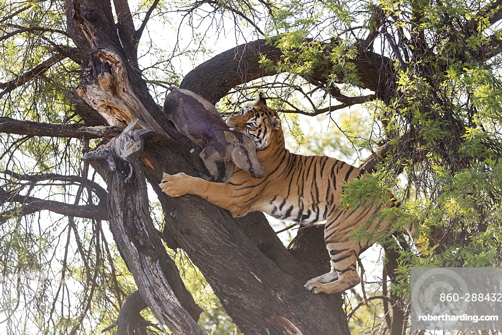 Asian (Bengal) Tiger (Panthera tigris tigris), climbing in a tree in search of a prey kept in branches protected from other predators : a common warthog (Phacochoerus africanus), Private reserve, South Africa