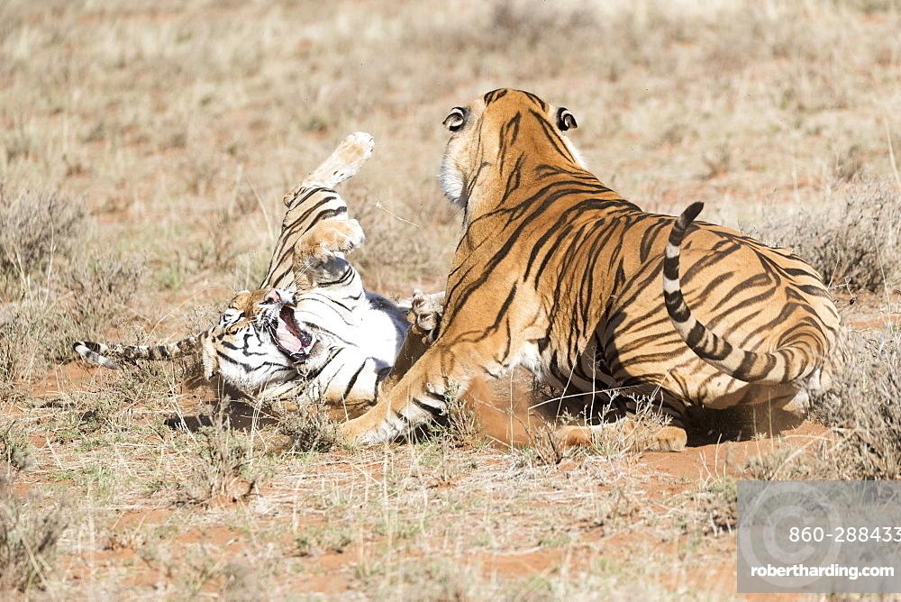 Asian (Bengal) Tiger (Panthera tigris tigris), adults, confrontation, Private reserve, South Africa