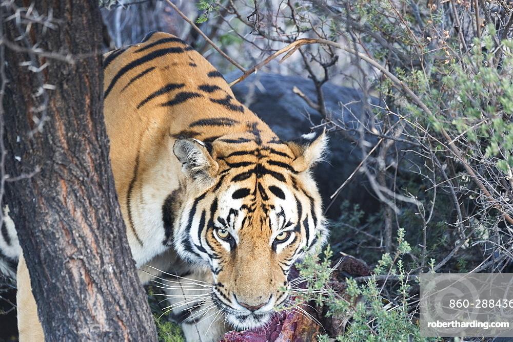 Asian (Bengal) Tiger (Panthera tigris tigris), eating, Private reserve, South Africa