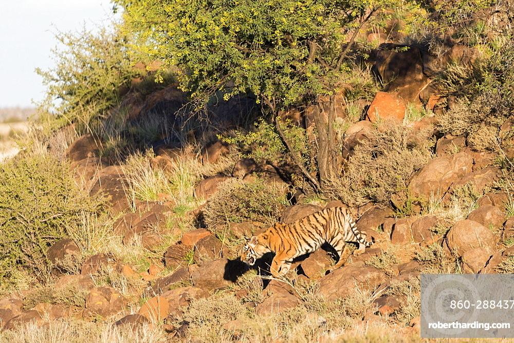 Asian (Bengal) Tiger (Panthera tigris tigris), mother walking with babies, Private reserve, South Africa