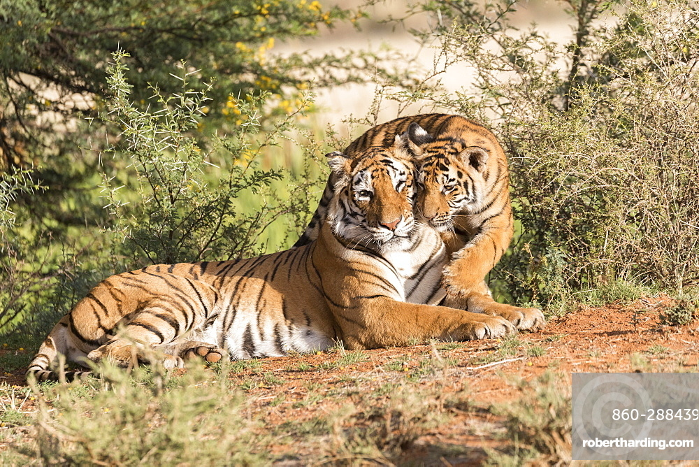 Asian (Bengal) Tiger (Panthera tigris tigris), with young 6 months old, resting, Private reserve, South Africa