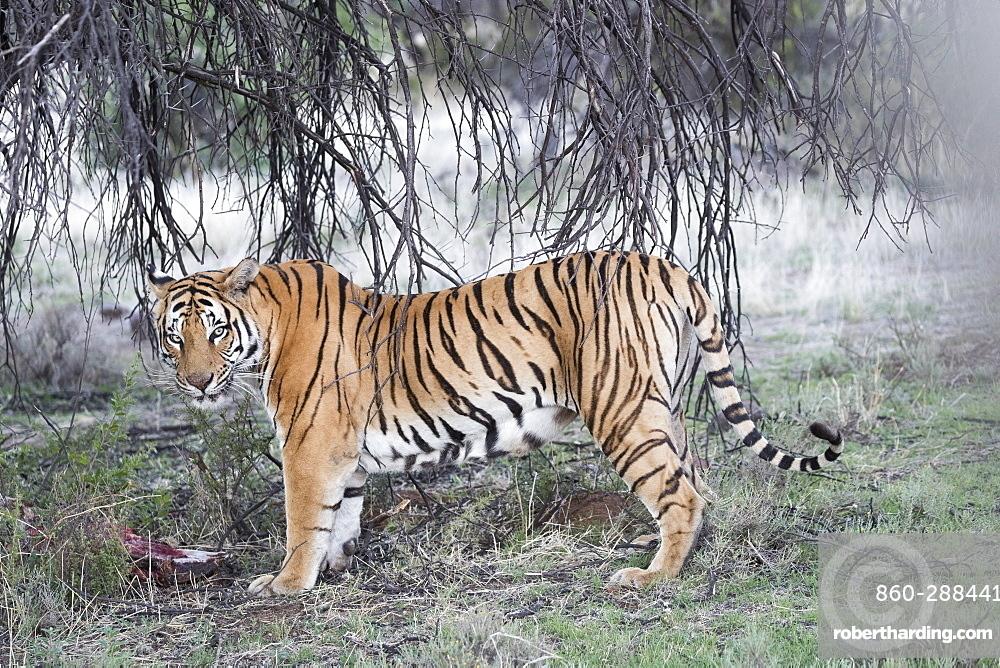 Asian (Bengal) Tiger (Panthera tigris tigris), with prey, Private reserve, South Africa