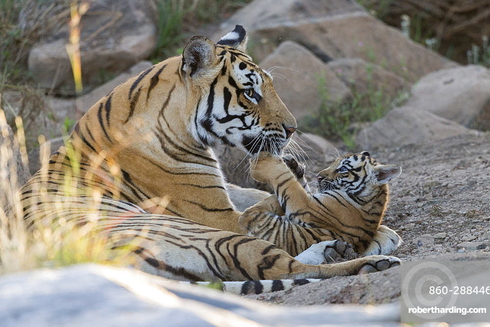Asian (Bengal) Tiger (Panthera tigris tigris), with young 3 months old, resting, Private reserve, South Africa