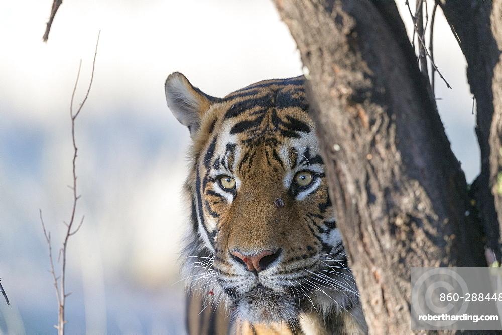 Asian (Bengal) Tiger (Panthera tigris tigris), portrait walking, Private reserve, South Africa