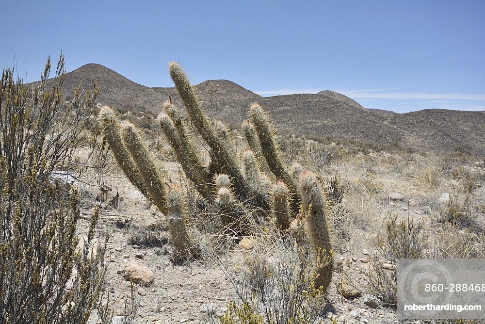 Viejito (Oreocereus leucotrichus), Cactaceae, Socoroma, XV Region of Arica and Parinacota, Chile