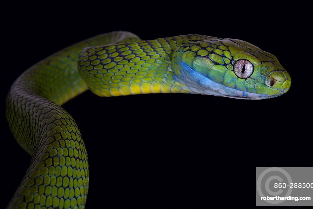 Green cat snake (Boiga cyanea)