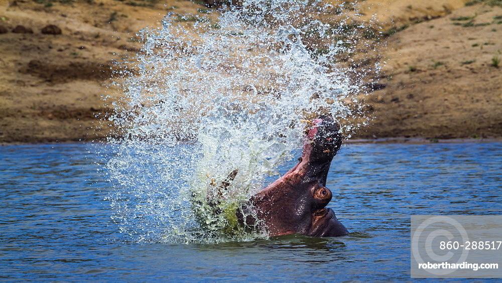 Hippopotamus (Hippopotamus amphibius) splashing with open mouth in Kruger National park, South Africa