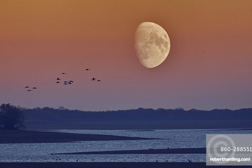 Flight of Cranes (Grus grus), moon, Lake Der, Haute Marne, Montier en Der, Haute-Marne, France