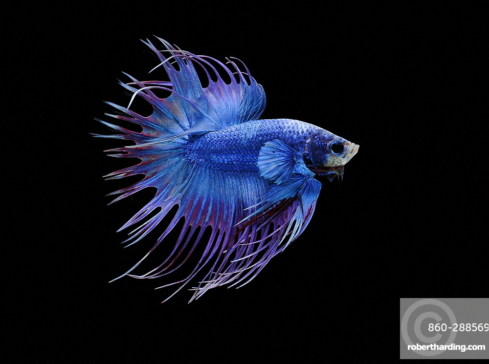 Siamese fighting fish (Betta splendens) male 'Crowntail Dragon'