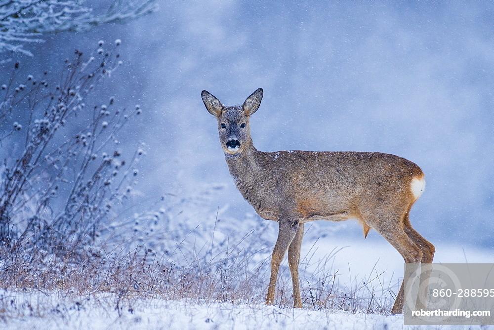 Roebuck (Capreolus capreolus) in the snow, Slovakia