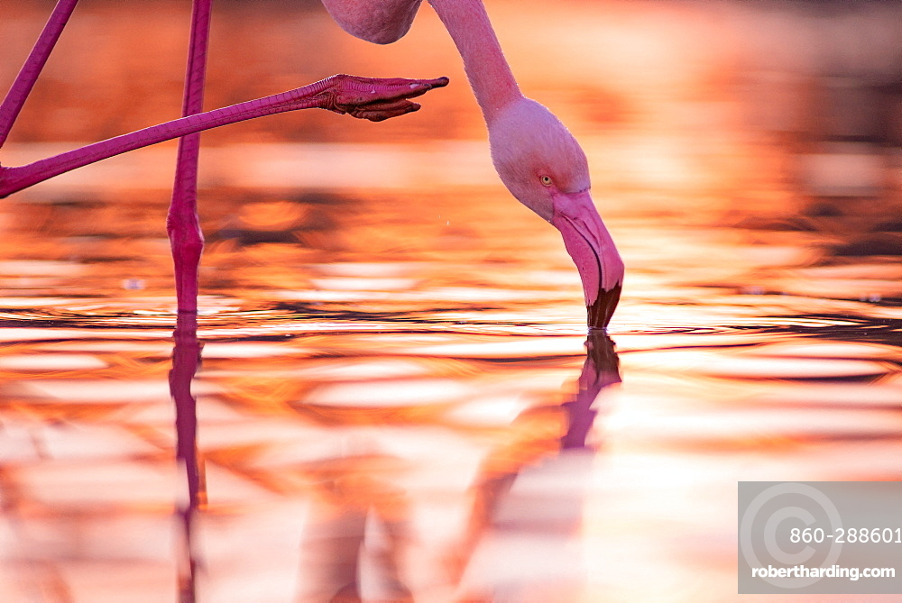 Great Flamingo (Phoenicopterus roseus) in water Camargue, France