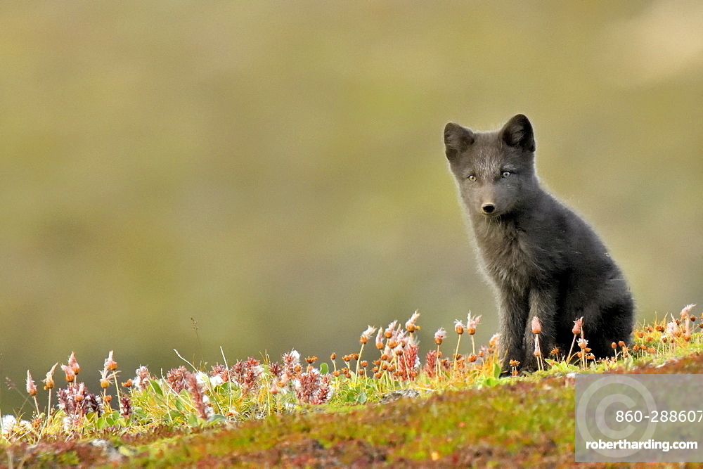 Young Arctic Fox (Alopex Lagopus) in tundra, Jameson Land, Northeast Greenland
