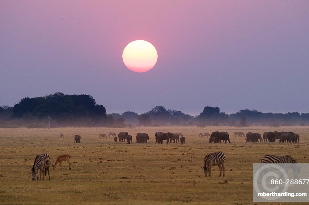 Elephants and zebras at sunset. Chobe National Park, Botswana.