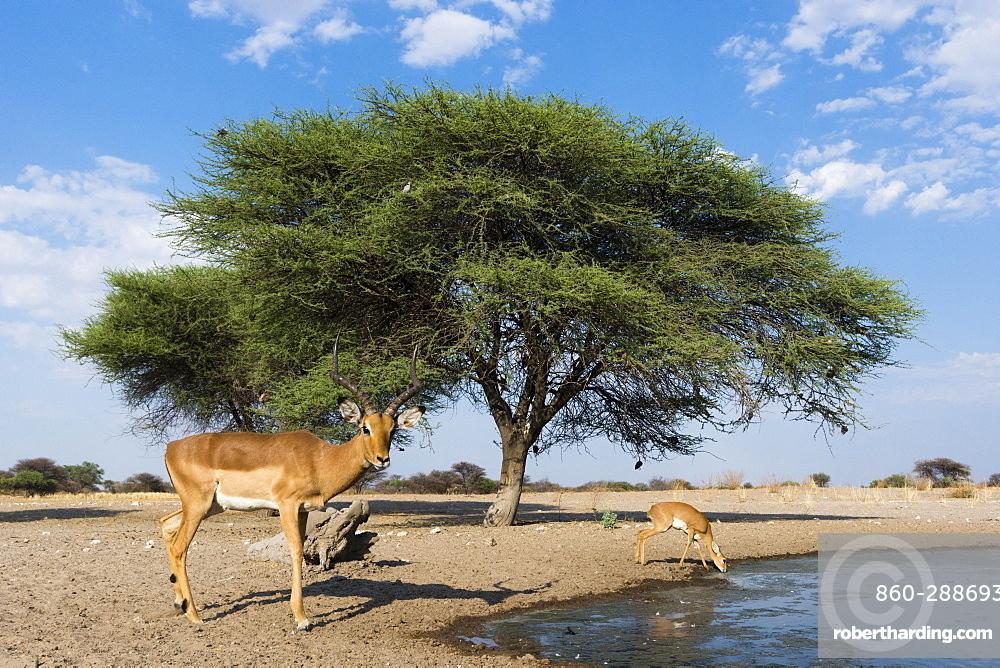 Remote camera image of impalas (Aepyceros melampus) drinking at waterhole, Kalahari, Botswana